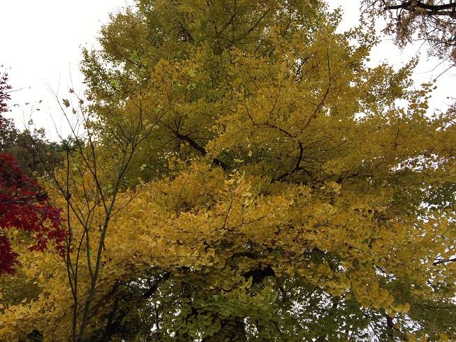 黄色い銀杏の木