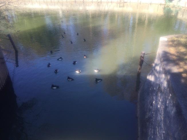 池に浮かぶカルガモ