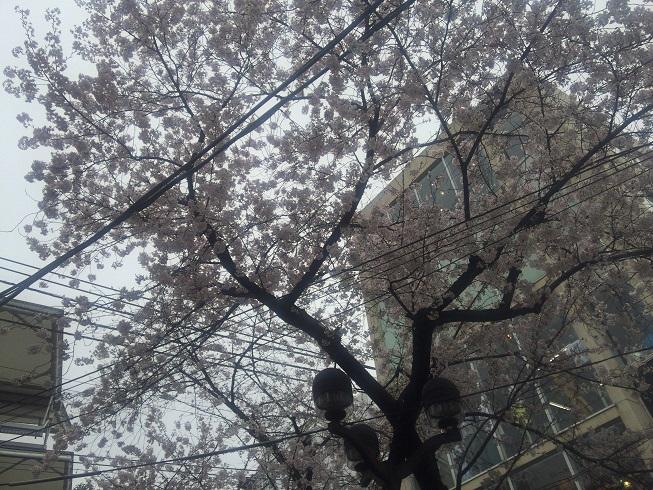 満開の自由が丘緑道の桜