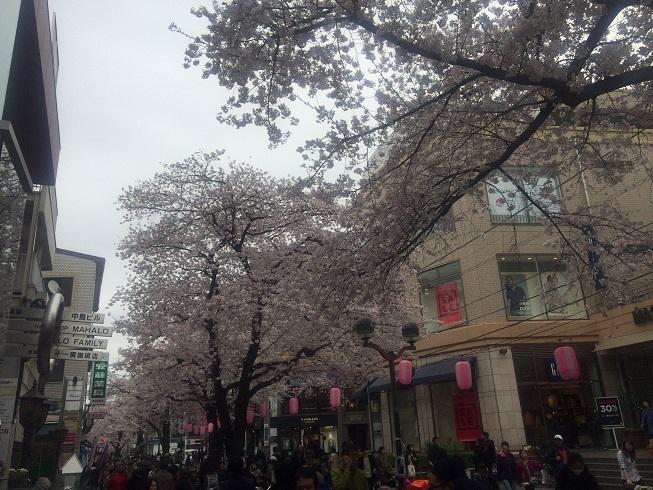 マリクレール通り周辺緑道に咲くさくら